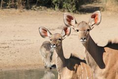 Kudu Calf Antelopes and a Warthog - African Wildlife - Cow Stare Stock Image