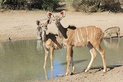 Kudu Calf Antelopes and a Warthog - African Wildlife - Innocence Stock Photo