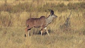 Kudu cammina attraverso un campo archivi video