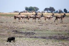 Kudu - Chobe N.P. Botswana, Africa Royalty Free Stock Images