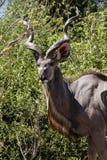 Kudu - Chobe N P Botswana, Afryka Zdjęcia Stock