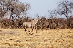 Kudu - Chobe N P Botswana, Afryka Zdjęcie Stock