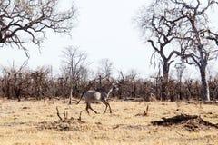 Kudu - Chobe N P Botswana, Afryka Zdjęcie Royalty Free