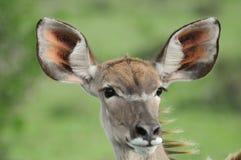 Kudu close up. Close up of a female kudu - a woodland antelope - antelope  (Tragelaphus strepsiceros) in Addo, Eastern Cape, South Africa Royalty Free Stock Image
