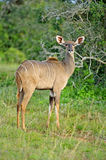 Kudu Cow Royalty Free Stock Image