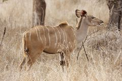 Kudu cow browsing in bush Stock Images