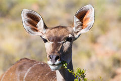 Kudu cow eating Stock Photos