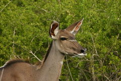 Kudu cow. Peacefully browsing in bush royalty free stock photography