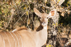 Kudu cow with spread ears Stock Photos