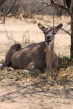 Kudu Cow under Bushvelt Tree Stock Photos