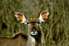 kudu d'antilope Photos stock
