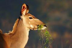 Kudu, das Grünblätter isst Stockfotos