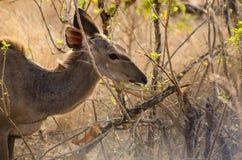 Kudu, das heraus zum Frühstück sucht Stockfoto