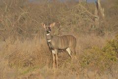 Kudu in der Savannenbürste lizenzfreies stockbild