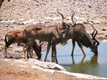 Kudu an der Wasserentnahmestelle lizenzfreies stockfoto