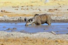 Kudu die modderig water drinken Royalty-vrije Stock Afbeeldingen