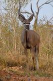 Kudu die uit stappen Stock Foto