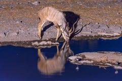 Kudu dricksvatten på waterhole under blå timme Fotografering för Bildbyråer
