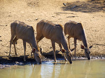 Kudu drinking at waterhole Royalty Free Stock Photos