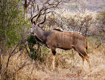 Kudu eating  Stock Photography
