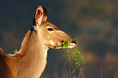 Kudu  eating green leaves Stock Photos