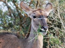 Kudu eating a twig in early morning sun Royalty Free Stock Image
