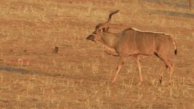 Kudu em Namíbia vídeos de arquivo