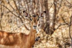 Kudu en el parque nacional de Ruaha, Tanzania imagen de archivo
