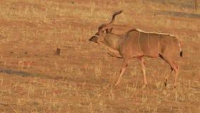 Kudu en Namibia almacen de metraje de vídeo