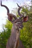 Kudu en stationnement national de Kruger Image libre de droits