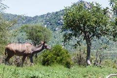 Kudu on her way stock photography