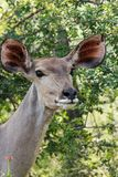 Kudu portait up close royalty free stock photos