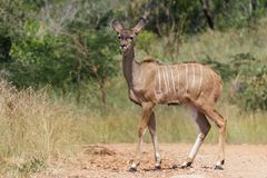 Kudu on a dirt road stock image