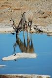 Kudu in Etosha #2 Lizenzfreies Stockfoto