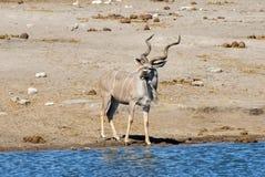 Kudu - Etosha, Namibia Zdjęcie Royalty Free