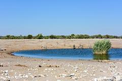 Kudu - Etosha, Namibia Fotografia Royalty Free