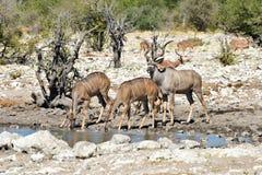 Kudu - Etosha, Namibia Zdjęcia Stock