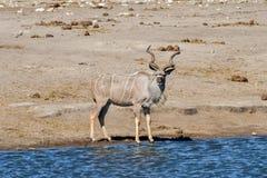 Kudu - Etosha, Namibia Obraz Stock