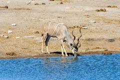 Kudu - Etosha, Namibia Stock Image