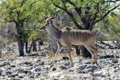 Kudu in Etosha National Park. Kudu walking in Etosha National Park, Namibia Stock Images