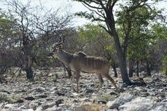 Kudu in Etosha National Park. Kudu walking in Etosha National Park, Namibia Royalty Free Stock Photography