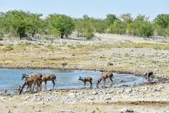 Kudu in Etosha National Park Royalty Free Stock Images