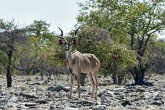Kudu in Etosha National Park. Kudu at a watering hole in Etosha National Park, Namibia Royalty Free Stock Images