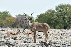Kudu in Etosha National Park. Kudu at a watering hole in Etosha National Park, Namibia Royalty Free Stock Image