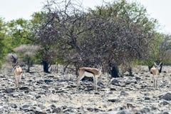 Kudu in Etosha National Park. Kudu at a watering hole in Etosha National Park, Namibia Stock Photo