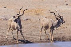 Kudu in Etosha parc Royalty Free Stock Photos