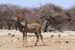 Kudu in Etosha parc Stock Photos