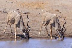 Kudu in Etosha parc Royalty Free Stock Photo