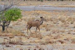 Kudu Etosha parkerar, Namibia Arkivbilder