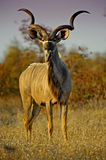 Kudu Evening Stock Photo